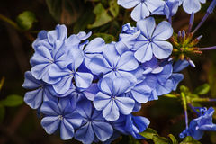 Plumbago Royal Cape. Cape Plumbago in flower Royalty Free Stock Image