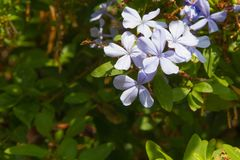 Plumbago on the sunny slopes of the volcano Etna in Sicily stock image