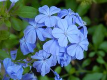 Plumbago. Is a tender perennial that has lovly flowers of blue Stock Image