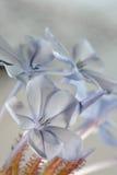 Plumbego blomma Arkivfoton