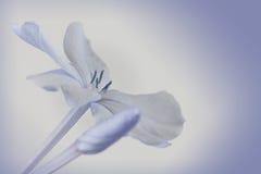 Plumbego-Blume Stockfoto