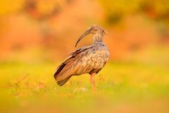 Plumbeous θρεσκιόρνιθα, Theristicus caerulescens, εξωτικό πουλί στο βιότοπο φύσης, συνεδρίαση πουλιών στη χλόη με τον όμορφο ήλιο Στοκ Φωτογραφίες