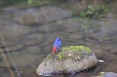 Plumbeous νερό Redstart Στοκ φωτογραφίες με δικαίωμα ελεύθερης χρήσης