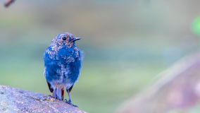 Plumbeous νερό-Redstart Στοκ Φωτογραφία