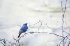 Plumbeous νερό-Redstart Στοκ εικόνες με δικαίωμα ελεύθερης χρήσης