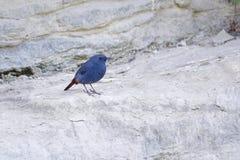 Plumbeous νερό-Redstart Στοκ Εικόνα