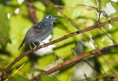 Plumbeous Antbird Stock Images