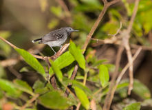 Plumbeous Antbird Στοκ Εικόνα