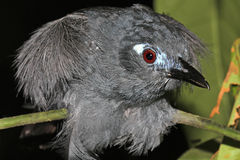 Plumbeous Antbird in the Amazon Stock Photography