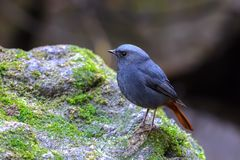 Plumbeous fuliginosus Redstart ή Phoenicurus Στοκ Φωτογραφίες