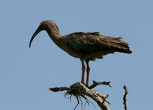 Plumbeous Ibis. A large grayish bird perches on dead twigs against a clear blue sky,Argentina Stock Photos