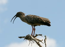 Plumbeous Ibis Stock Photography
