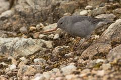 Plumbeous sierra finch with a worm. This is a photo of a plumbeous sierra finch, taken in national park cajas, Ecuador stock photos