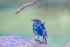 Plumbeous vatten-Redstart Royaltyfri Foto