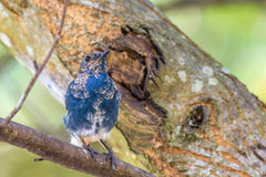 Plumbeous vatten-Redstart Royaltyfria Foton
