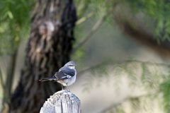 Plumbeous Vireo, Vireo Plumbeus Royalty Free Stock Images