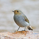 Plumbeous Water Redstart bird Royalty Free Stock Images
