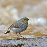 Plumbeous Water Redstart bird Royalty Free Stock Photo