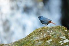 Plumbeous Water-redstart , Bird perching on stone as waterfall b. Ackground Stock Image
