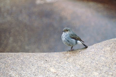 Plumbeous Water Redstart. A female Plumbeous Water Redstart stand on stone Stock Photography