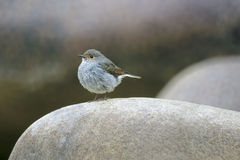 Plumbeous Water Redstart. A female Plumbeous Water Redstart stands on stone Stock Image