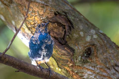 Plumbeous Water-Redstart Royalty Free Stock Images