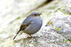 Plumbeous Water Redstart Rhyacornis fuliginosa Stock Photography