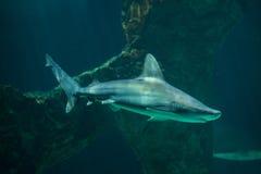 Plumbeus Carcharhinus καρχαριών φραγμάτων άμμου σε εκβολή ποταμού Στοκ Εικόνες