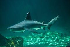 Plumbeus Carcharhinus καρχαριών φραγμάτων άμμου σε εκβολή ποταμού Στοκ εικόνες με δικαίωμα ελεύθερης χρήσης