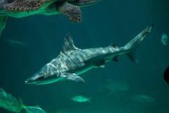 Plumbeus Carcharhinus καρχαριών φραγμάτων άμμου σε εκβολή ποταμού Στοκ Φωτογραφία