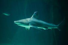 Plumbeus Carcharhinus καρχαριών φραγμάτων άμμου σε εκβολή ποταμού Στοκ Φωτογραφίες
