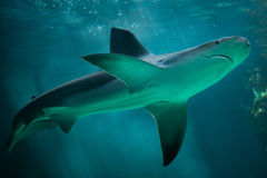 Plumbeus Carcharhinus καρχαριών φραγμάτων άμμου σε εκβολή ποταμού Στοκ φωτογραφία με δικαίωμα ελεύθερης χρήσης