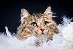 Plume de Chat Royaltyfria Bilder
