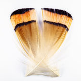 Plume du faisan d'or Photo libre de droits