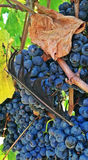 Plume et raisins Photographie stock