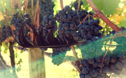 Plume et raisins 2 Image stock