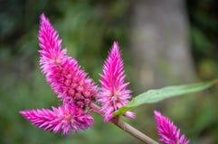 Plume Flower Imagens de Stock