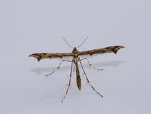 Plume Moth fotografia stock libera da diritti