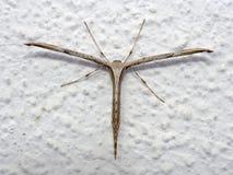 Plume Moth comune, monodactyla di Emmelina con le ali rotolate sulla parete AkaT-lepidottero o ipomea immagini stock