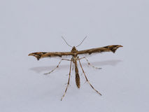 Plume Moth Royalty Free Stock Photo