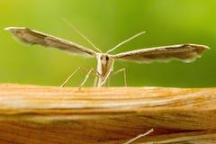 Plume Moth Macro Shot immagini stock libere da diritti