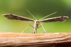 Plume Moth Macro Shot images libres de droits