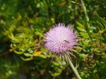 A plume thistle Stock Images