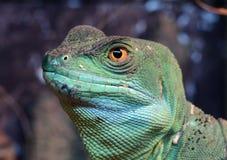 plumed зеленый цвет basilisk Стоковая Фотография