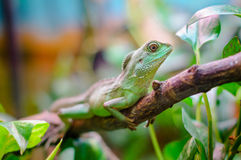 plumed зеленый цвет basilisk Стоковое Фото