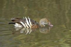 Plumed Свистеть-утка стоковое фото