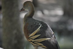 Plumed свистя утка Стоковая Фотография RF