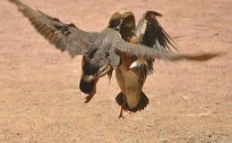 Plumed свистя утка Стоковое Фото
