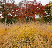plumed трава осени Стоковые Фото