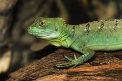 Plumed basilisk – (basiliscus plumifrons). Portrait young basilisk on the fulcrum of a dry tree Royalty Free Stock Photos
